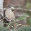 Evening Grosbeak - Female - Grayling, MI, USA