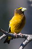 Evening Grosbeak - Yuba Pass Campground, Hwy 49, CA, USA