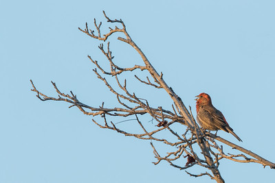 House Finch - Mountain View, CA, USA