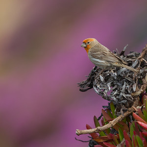 Housefinch - Male - with succulent flowers as background -  Pigeon Point Lighthouse, CA, USA