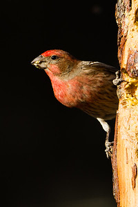 House Finch - Male - Ash Canyon B&B, Hereford, AZ, USA