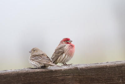 I am not talking to you! - House finches - Male & Female - Panoche Valley, CA, USA