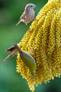 Japanese White-Eye and House Finch Female - Maui, Hawaii, USA