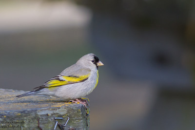 Lawrence's Goldfinch - Milpitas, CA, USA