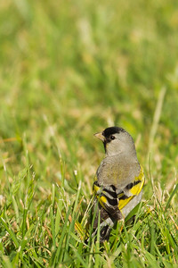 Lawrence's Goldfinch - Ed Levin County Park, Milpitas, CA, USA