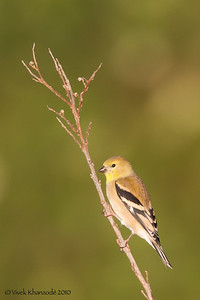 Lesser American Goldfinch - Female - Pale