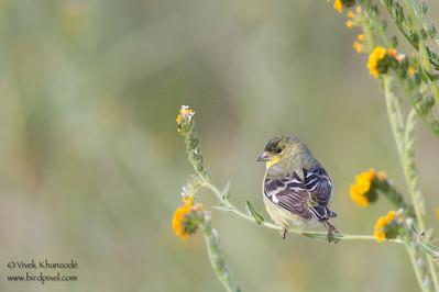 Lesser Goldfinch - Rancho San Antonio, Los Altos, CA
