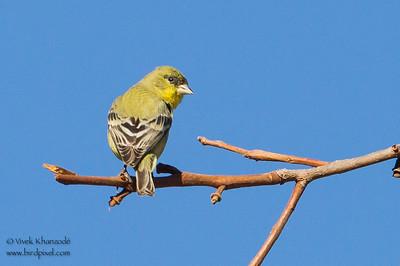 Lesser Goldfinch - Pichhetti OSP, CA, USA