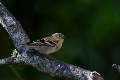 Lesser Goldfinch - Santa Cruz, CA, USA