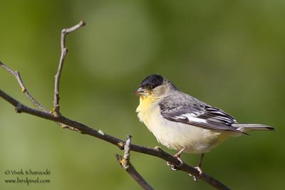 Lesser Goldfinch - Rancho San Antonio, Los Altos, CA, USA