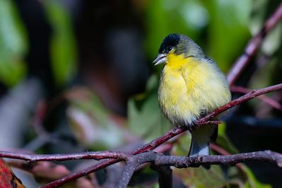 Lesser Goldfinch - Sunnyvale, CA, USA