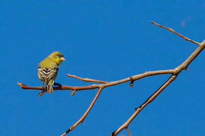 Lesser Goldfinch - Cupertino, CA, USA
