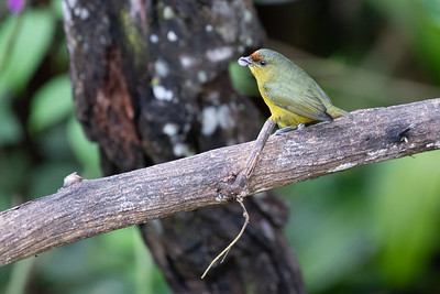 Olive-backed Euphonia - Cartago, Costa Rica
