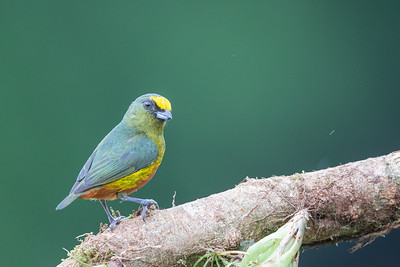 Olive-backed Euphonia - Alajuela, Costa Rica