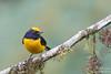 Orange-bellied Euphonia - Mindo, Ecuador