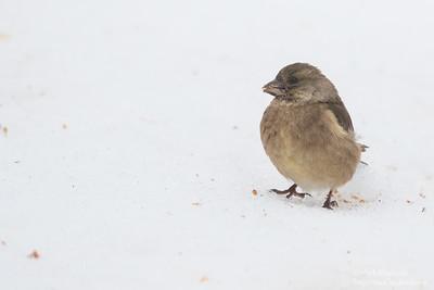 Oriental Greenfinch - Hokkaido, Japan