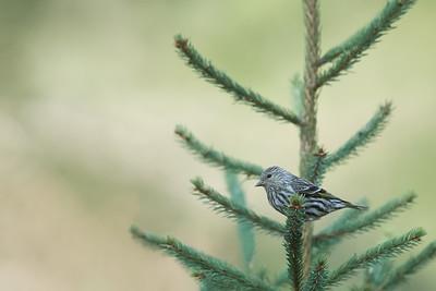 Pine SIskin - Grayling, MI, USA