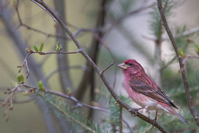 Purple Finch - Grayling, MI, USA