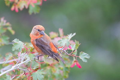 Red Crossbill - Rocky Mountain National Park, CO, USA