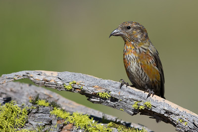 Red Crossbill - Juvenile - OR, USA