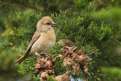 Red Crossbill - San Mateo, CA