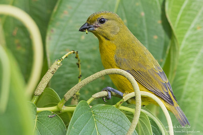 Violaceous Euphonia - Female - Asa Wright Nature Center, Trinidad