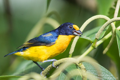 Violaceous Euphonia - Male - Asa Wright Nature Center, Trinidad