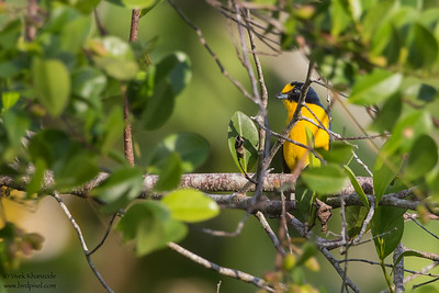 Yellow-throated Euphonia - Record - Crooked Tree, Belize