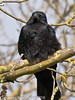 03 Apr 2010. Carrion Crow at Broadmarsh. Copyright Peter Drury 2010