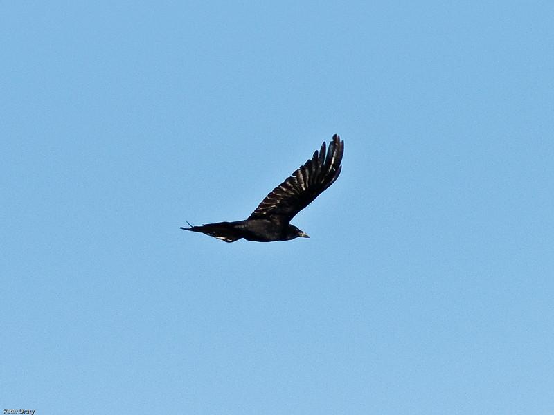Carrion Crow (Corvus corone corone). Copyright 2009 Peter Drury