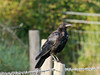 20 August 2011 Carrion Crow at Southmoor.