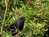 Carrion Crow (Corvus corone corone). Copyright 2009 Peter Drury