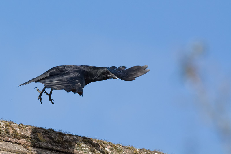 Crow at rest and in flight