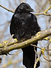 Carrion Crow (Corvus corone corone). Copyright Peter Drury 2010
