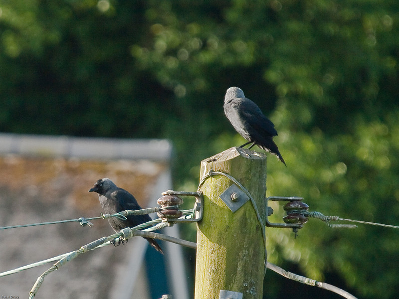 Jackdaw (Corvus monedula). Copyright Peter Drury<br /> These birds were seen at Goran Haven in June 2009.