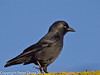 30 January 2011. Jackdaw?.  Copyright Peter Drury 2011
