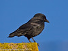 30 January 2011. Jackdaw at Widley.  Copyright Peter Drury 2011