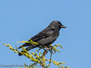 Jackdaw at Widley