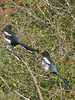 Magpie (Pica pica). Copyright 2009 Peter Drury<br /> Portsdown Hill