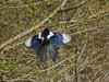 Magpie at Portsdown Hill