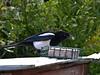 Magpie (Pica pica). Copyright Peter Drury 2010