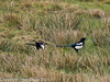 11 March 2011. Magpie at Keyhaven.  Copyright Peter Drury 2011