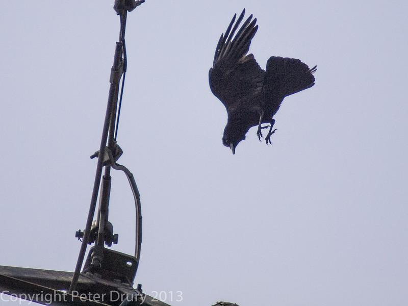 Raven diving at the Peregrine at Portsdown Hill