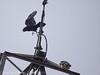 Raven buzzing Peregrine at Portsdown Hill