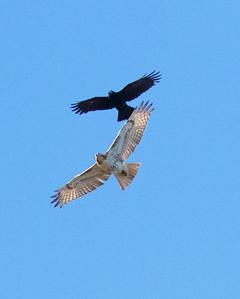 Crow vs. Redtail