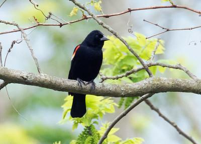 Red Wing Black Bird, Furlong PA