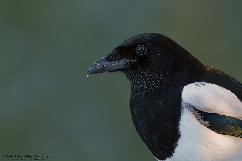 Black-billed Magpie (Pica pica)