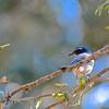 California (Western) Scrub Jay