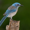 Woodhouse's Scrub Jay (Aphelocoma woodhouseii)
