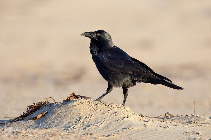 Australian Raven